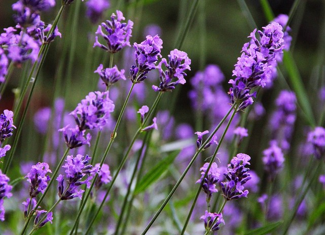 lavender-1-aneo-min
