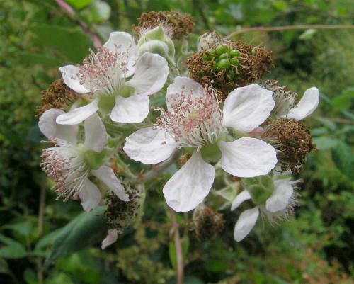 rubus-fruticosus2