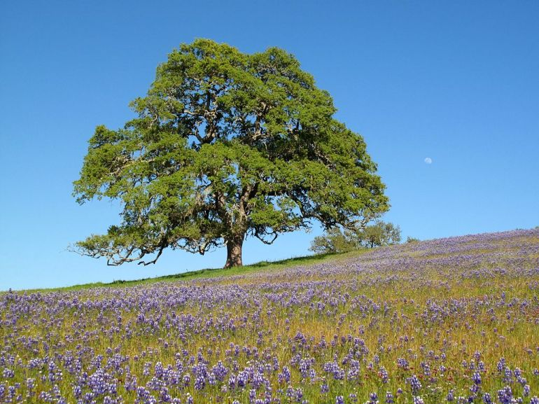 Oak_tree_with_moon_and_wildflowers